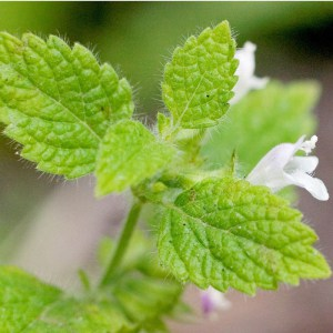 lemon balm from Melissa's blog